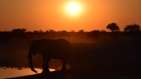 An elephant in the sunset
