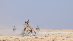 Zebra battle in Etosha