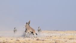 Zebra battle in Etosha