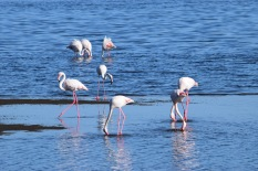Flamingos in Sandwich Harbour