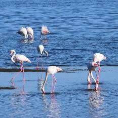 Flamingos in Sandwich Harbour