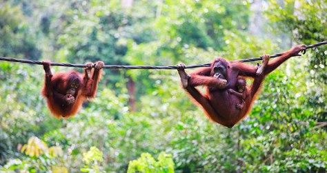 Orangutans_Sepilok